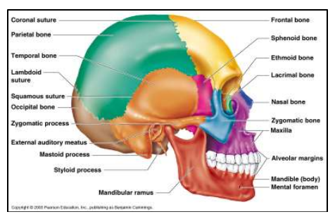 he human skull is composed by several ir regularly shaped bones including the  lower mandible. The frontal, two parietal, two temp oral, the occipital, and the sphenoid bones conform the calvarium.